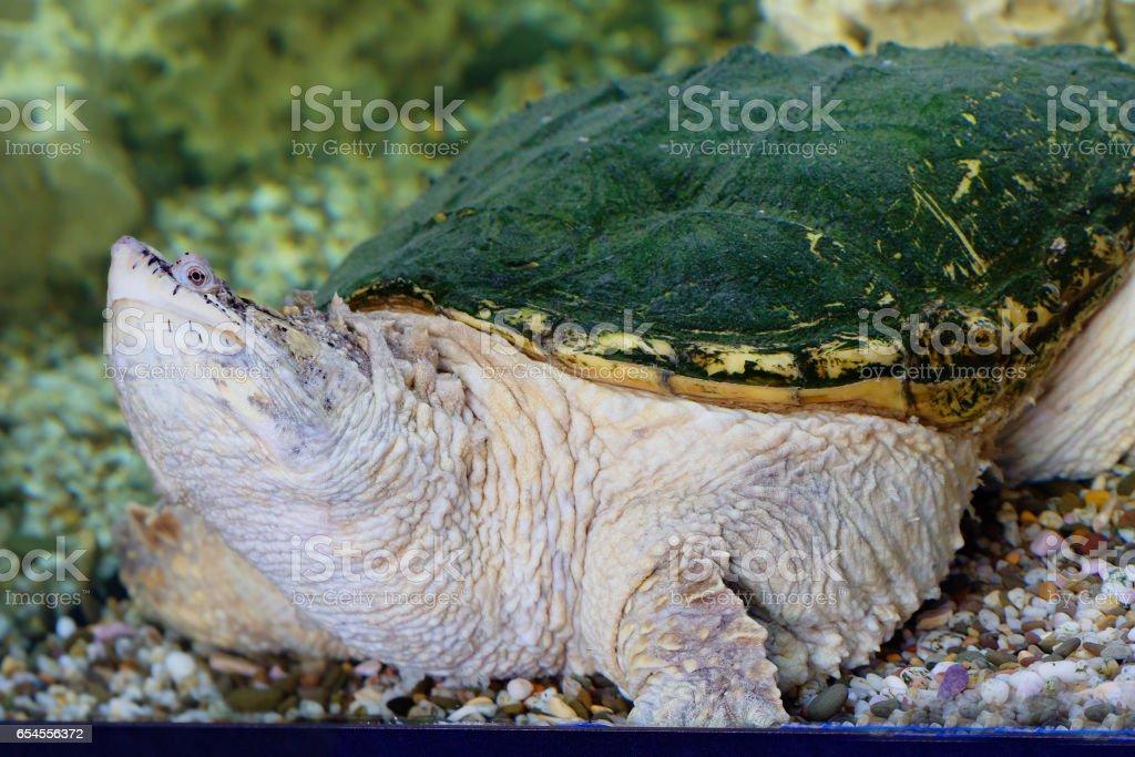 Каймановая черепаха, или кусающаяся черепаха stock photo