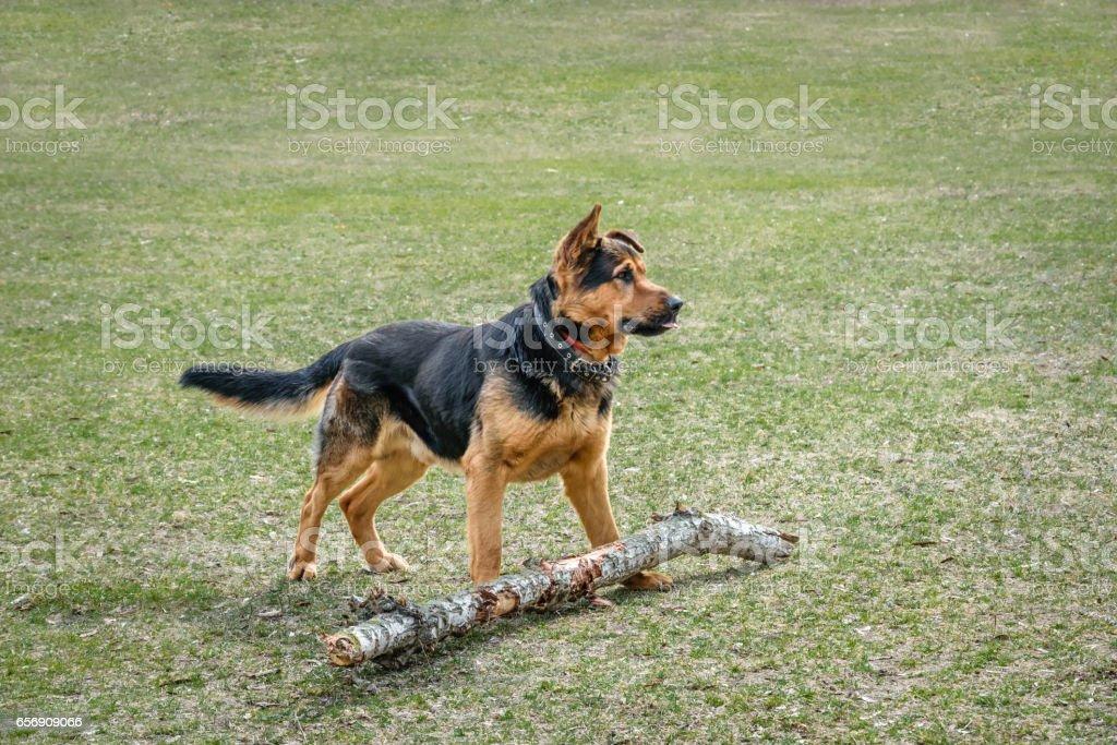 Дрессированная собака. Немецкая овчарка stock photo