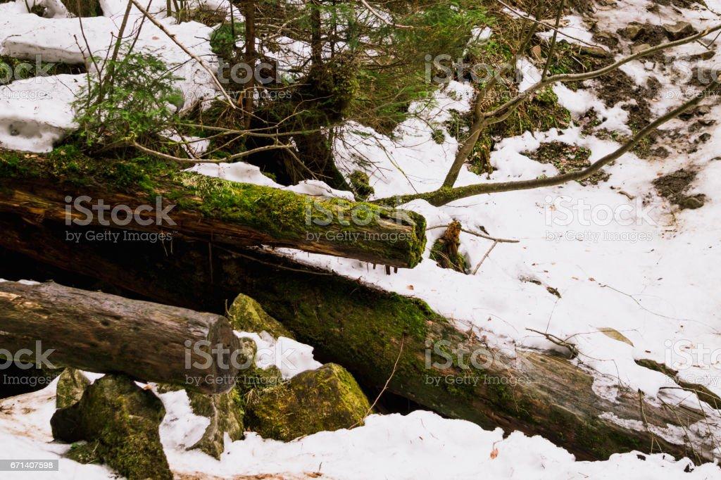Живописные поваленные деревья, заросшие мхом. Дикая природа Европы stock photo