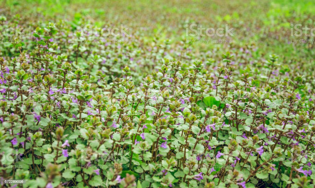 Живописный весенний луг. Весенние лиловые полевые цветы яснотки stock photo