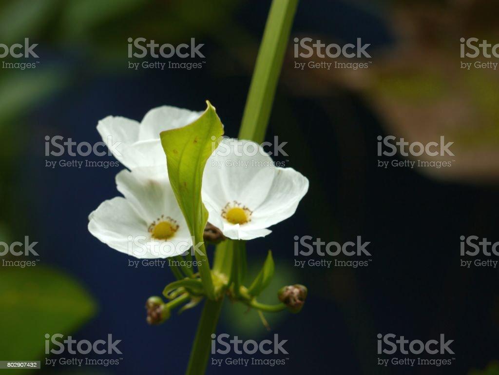 TEXAS MUD BABY FLOWER stock photo