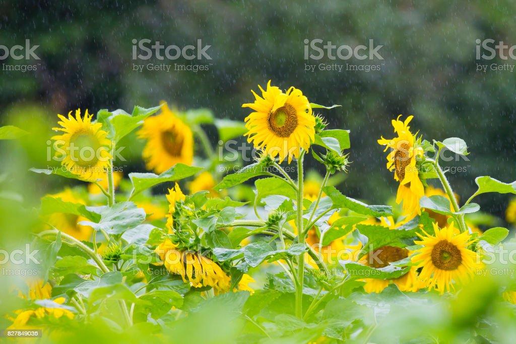 해바라기 stock photo