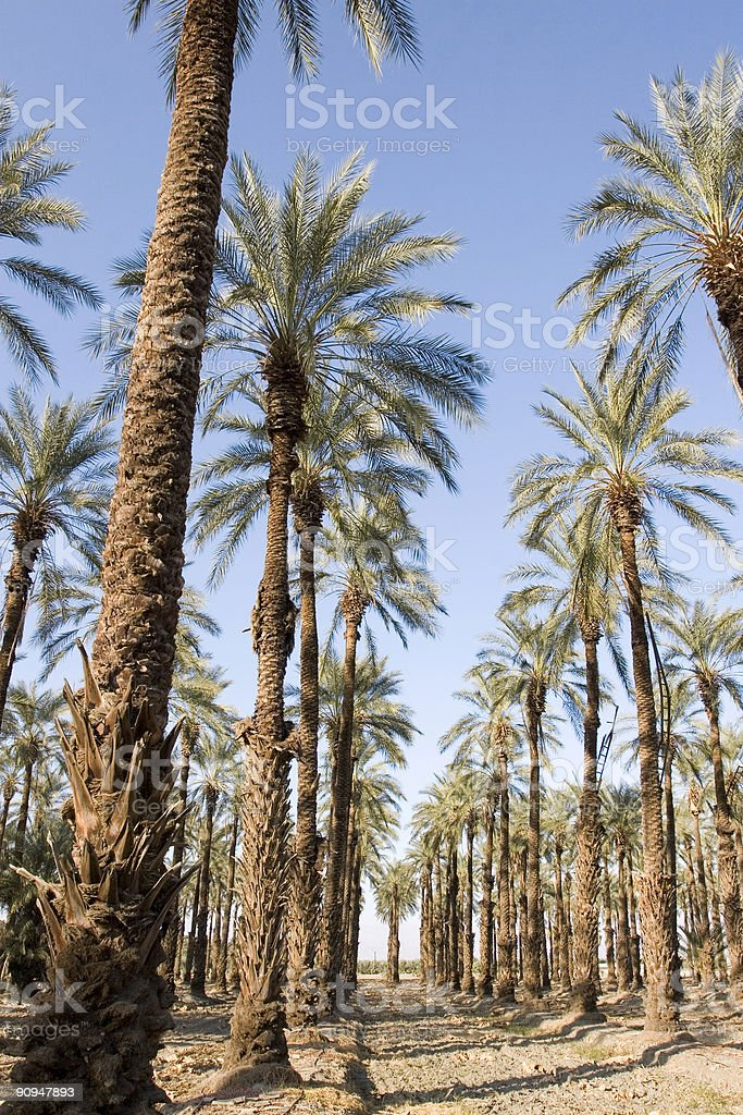 GROVE OF DATE PALM TREES stock photo