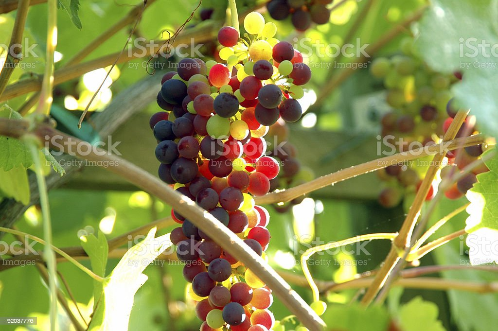 GRAPE CLUSTER 4 royalty-free stock photo
