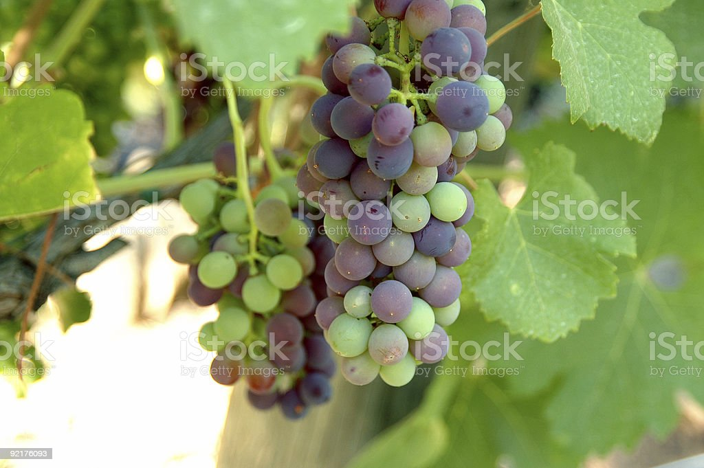 GRAPE CLUSTER 7 royalty-free stock photo