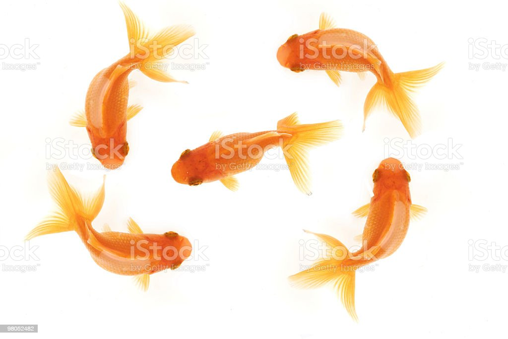 FIVE GOLDFISH royalty-free stock photo