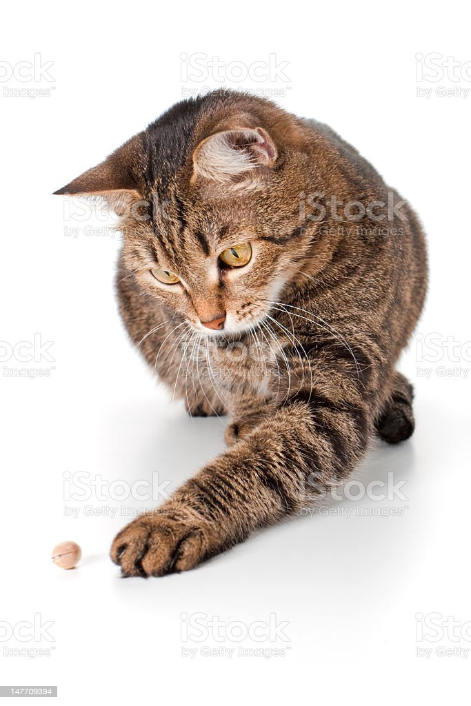 Сat touches a pistachio the paw stock photo