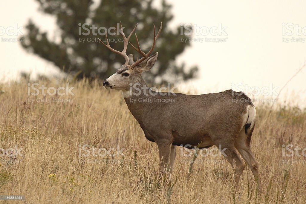10-point Mule Deer Buck stock photo