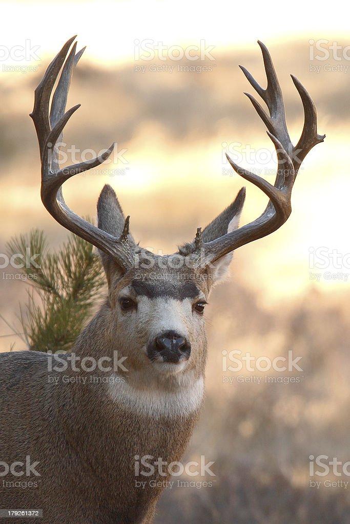 15-point Mule Deer Buck stock photo
