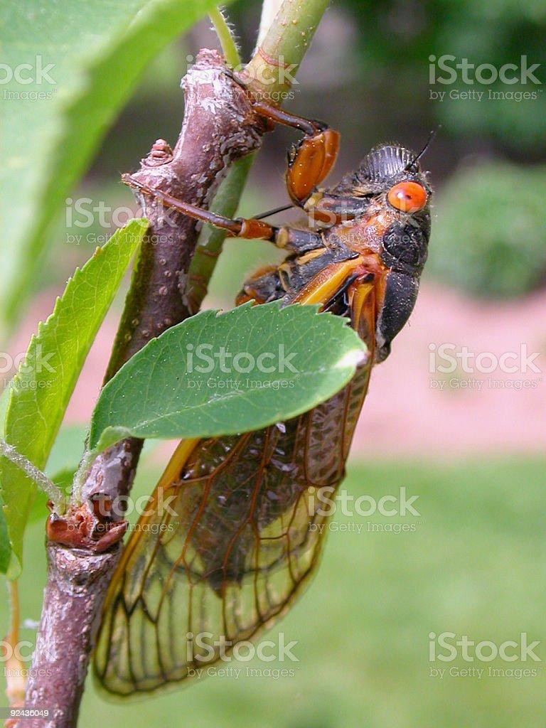 17-year (Periodical) cicada royalty-free stock photo