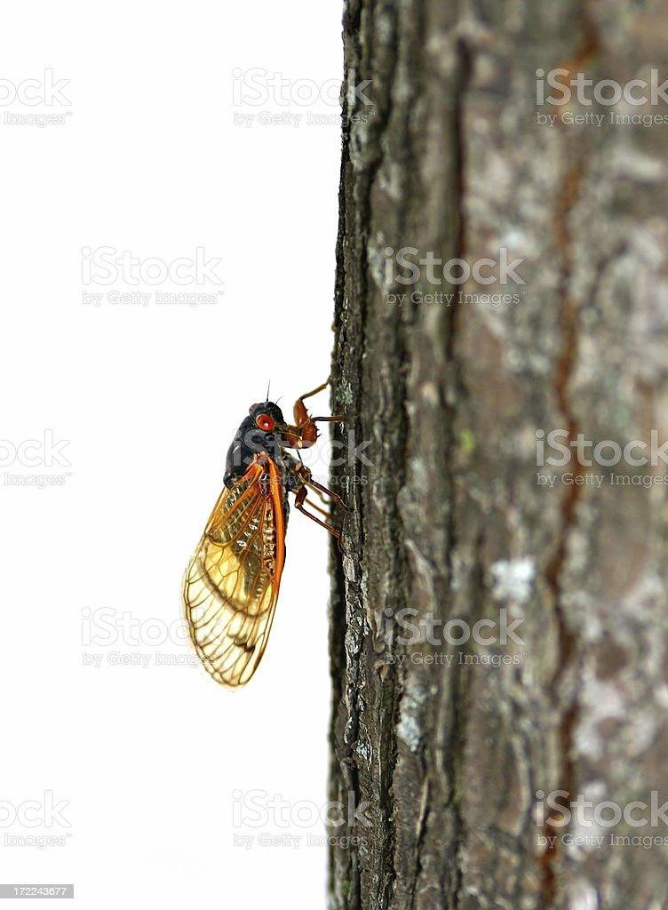 17-year periodical cicada royalty-free stock photo
