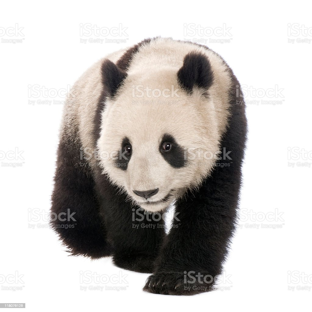18-month-old giant panda crawling over a white background stock photo