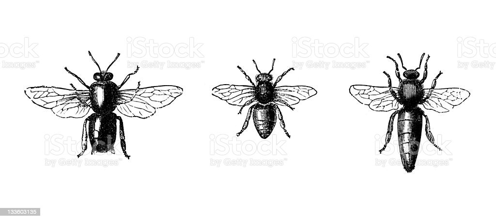 19th century engraving of three bees royalty-free stock photo