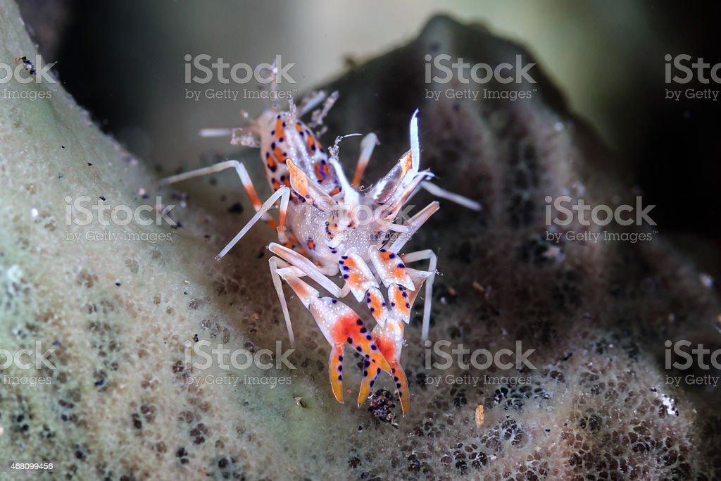 1cm long Tiger Shrimp on a sponge stock photo