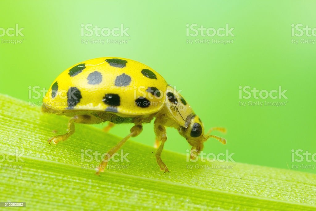 22-Spot Ladybied stock photo