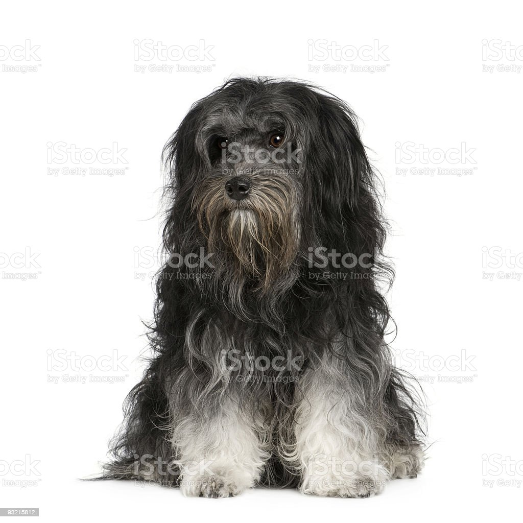 Löwchen (7 years) royalty-free stock photo
