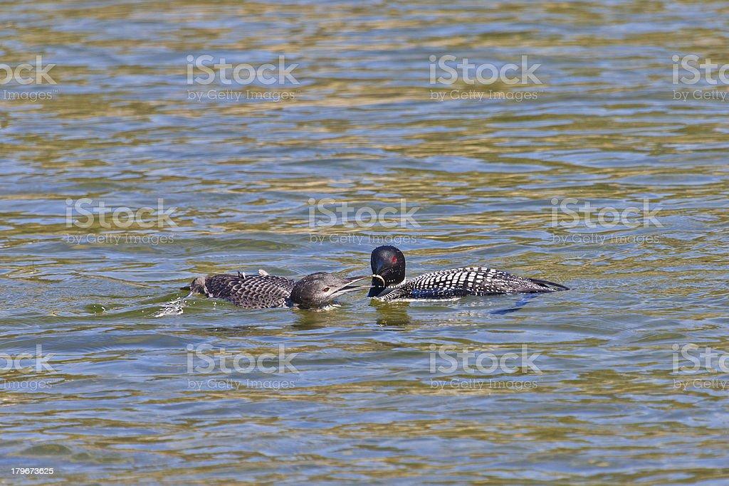 2478-Loon feeding chick royalty-free stock photo