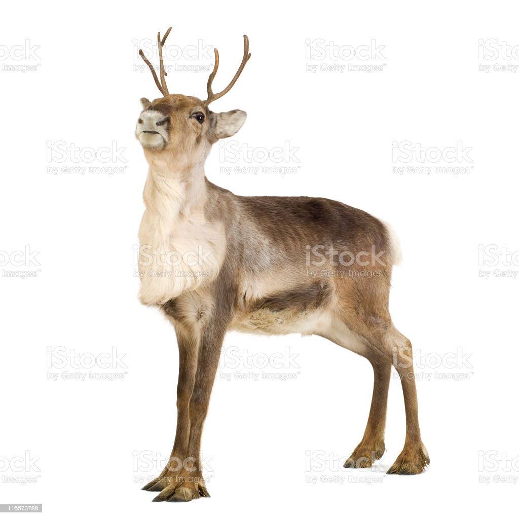 2-year-old reindeer standing isolated on a white surface royalty-free stock photo