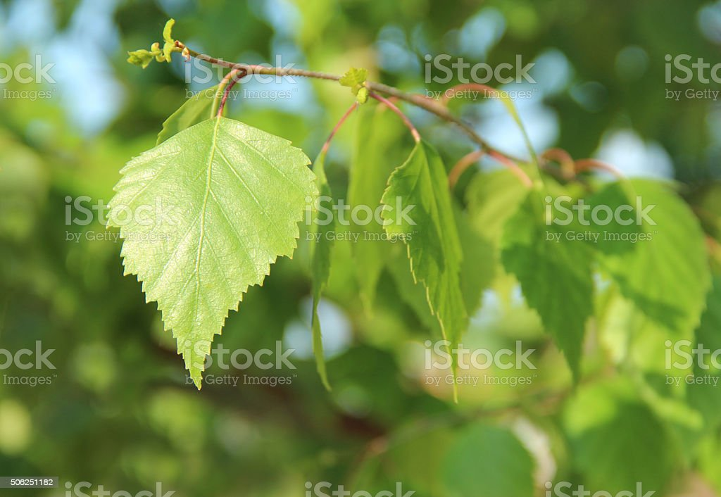 3870_Young birch leaves stock photo
