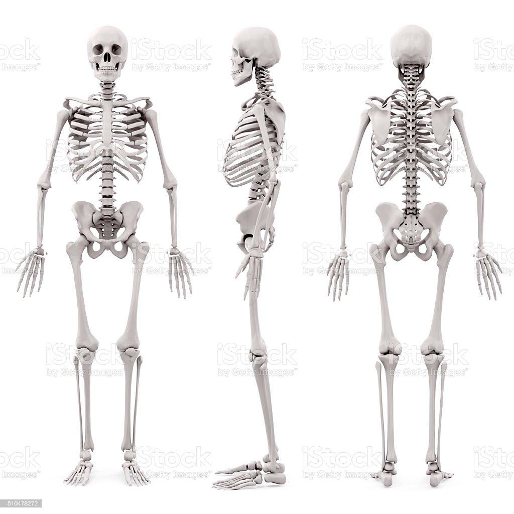 3d human skeleton on white background stock photo 510478260 | istock, Skeleton