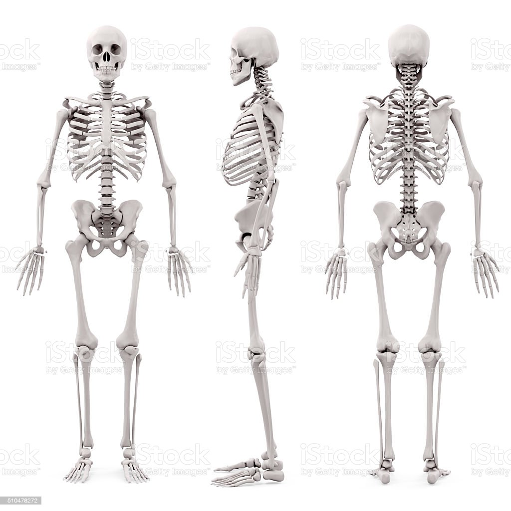3d human skeleton on white background stock photo