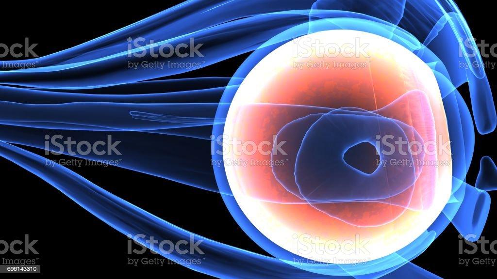 3d Illustration Of Human Body Eye Anatomy Stock Photo 696143310 Istock