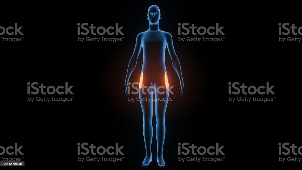 3d illustration of human body muscle anatomy(Medical muscle ) stock photo