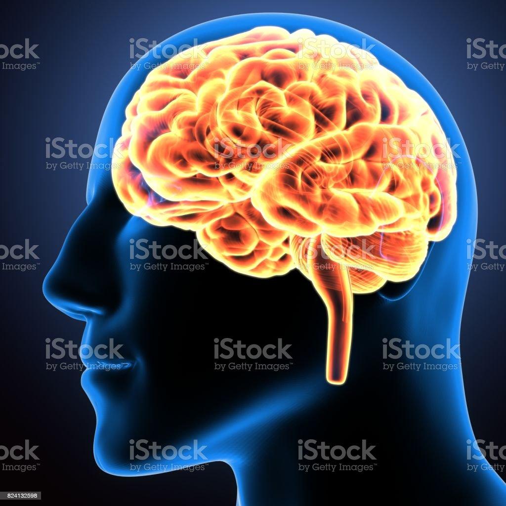 3d illustration of human body organ(brain anatomy) stock photo