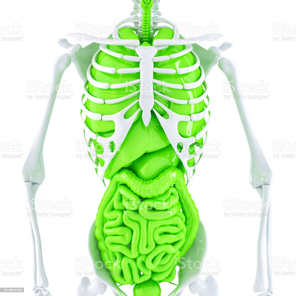 3d illustration of human skeleton and internal organs. Isolated. Contains clipping path stock photo