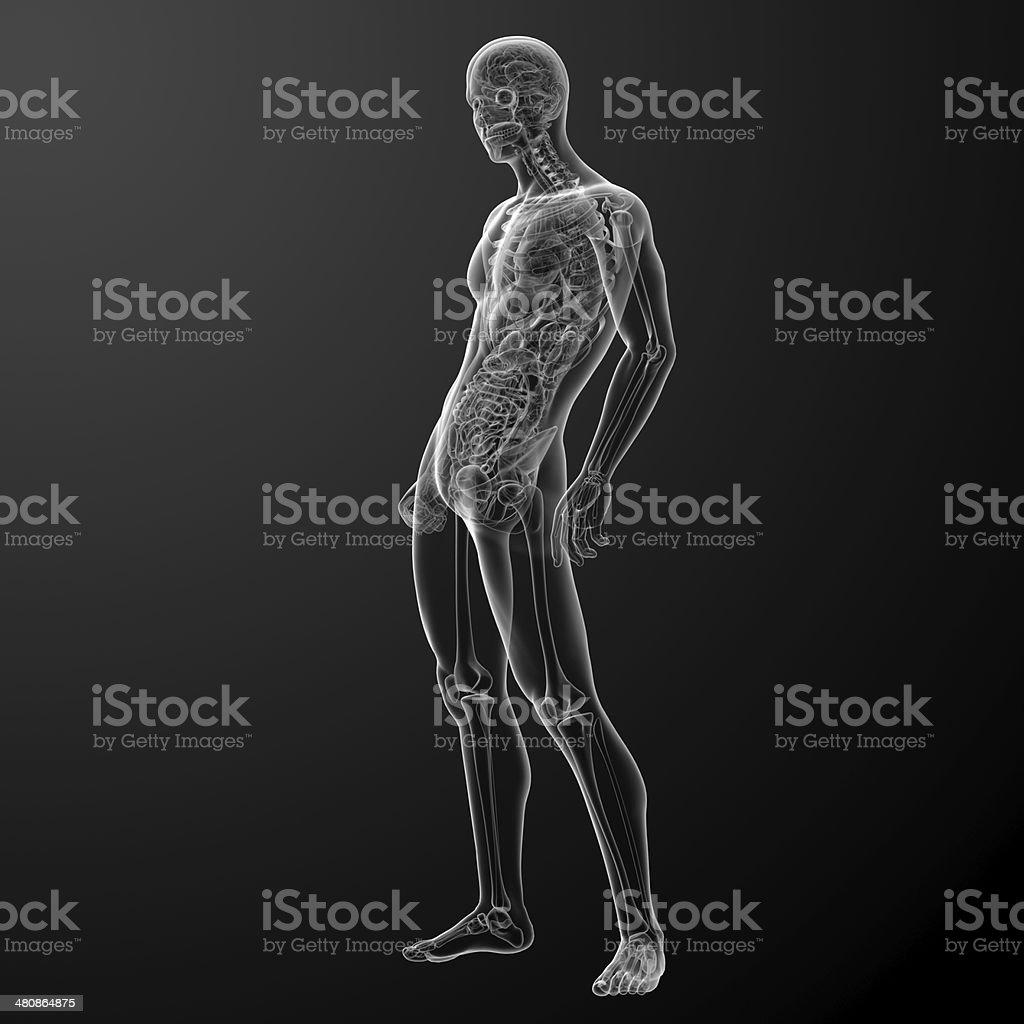 3d render human anatomy royalty-free stock photo