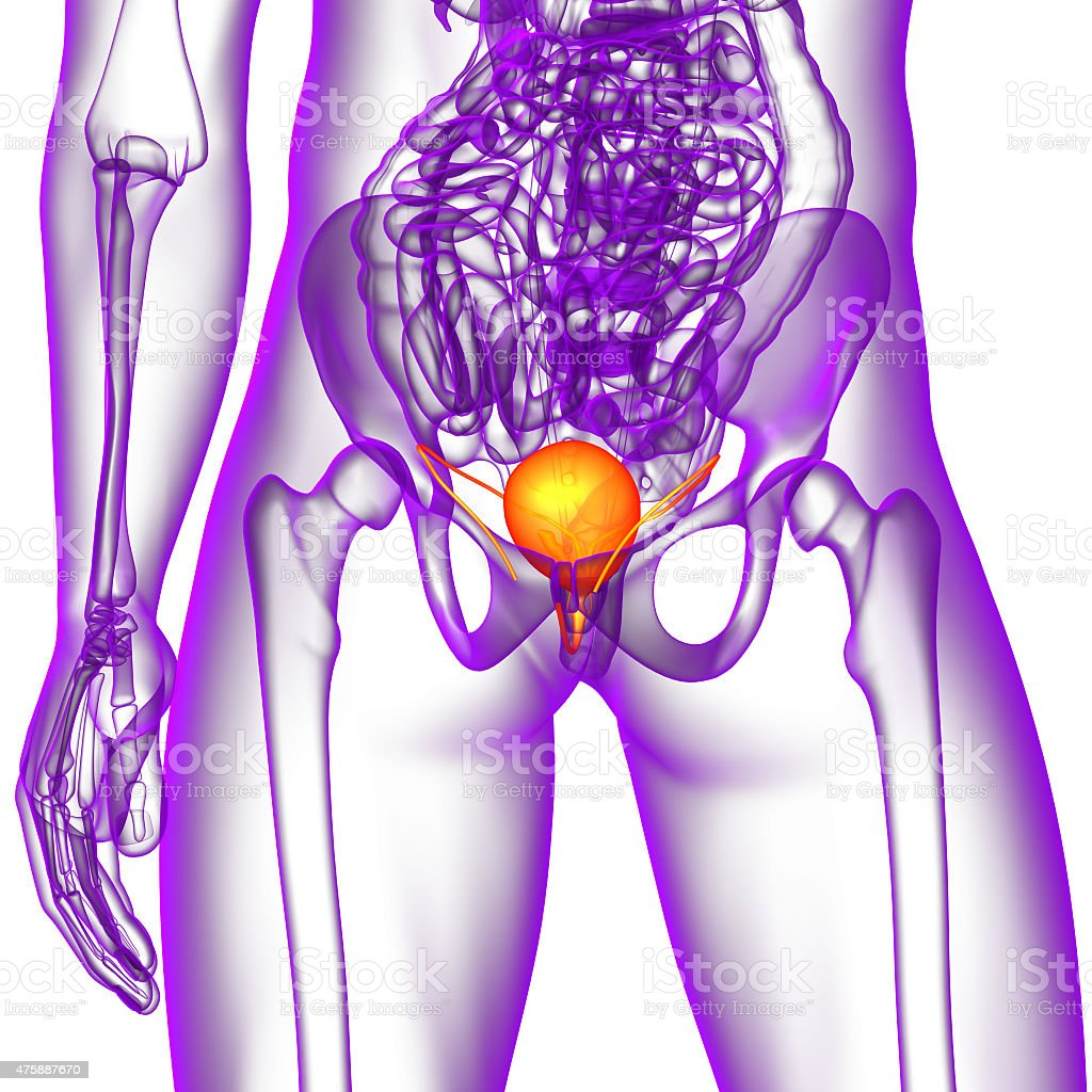 3d render medical illustration of the bladder stock photo