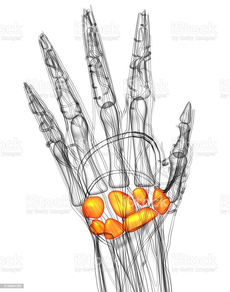 3d render medical illustration of the carpal bone stock photo