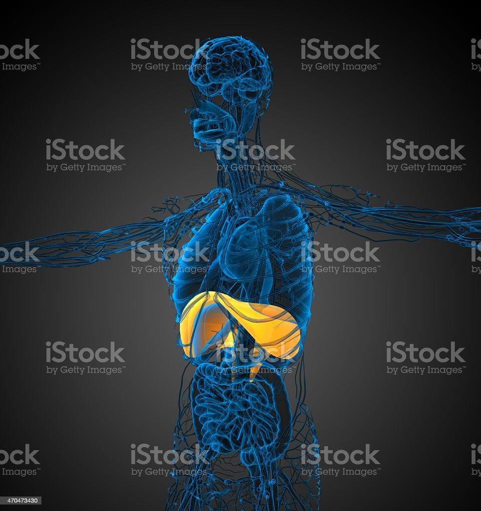 3d render medical illustration of the diaphragm stock photo