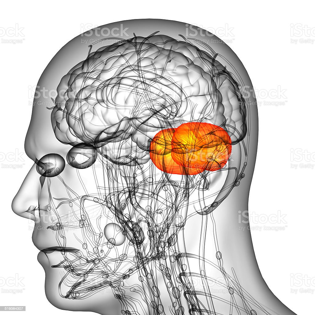 3d render medical illustration of the human brain cerebrum stock photo