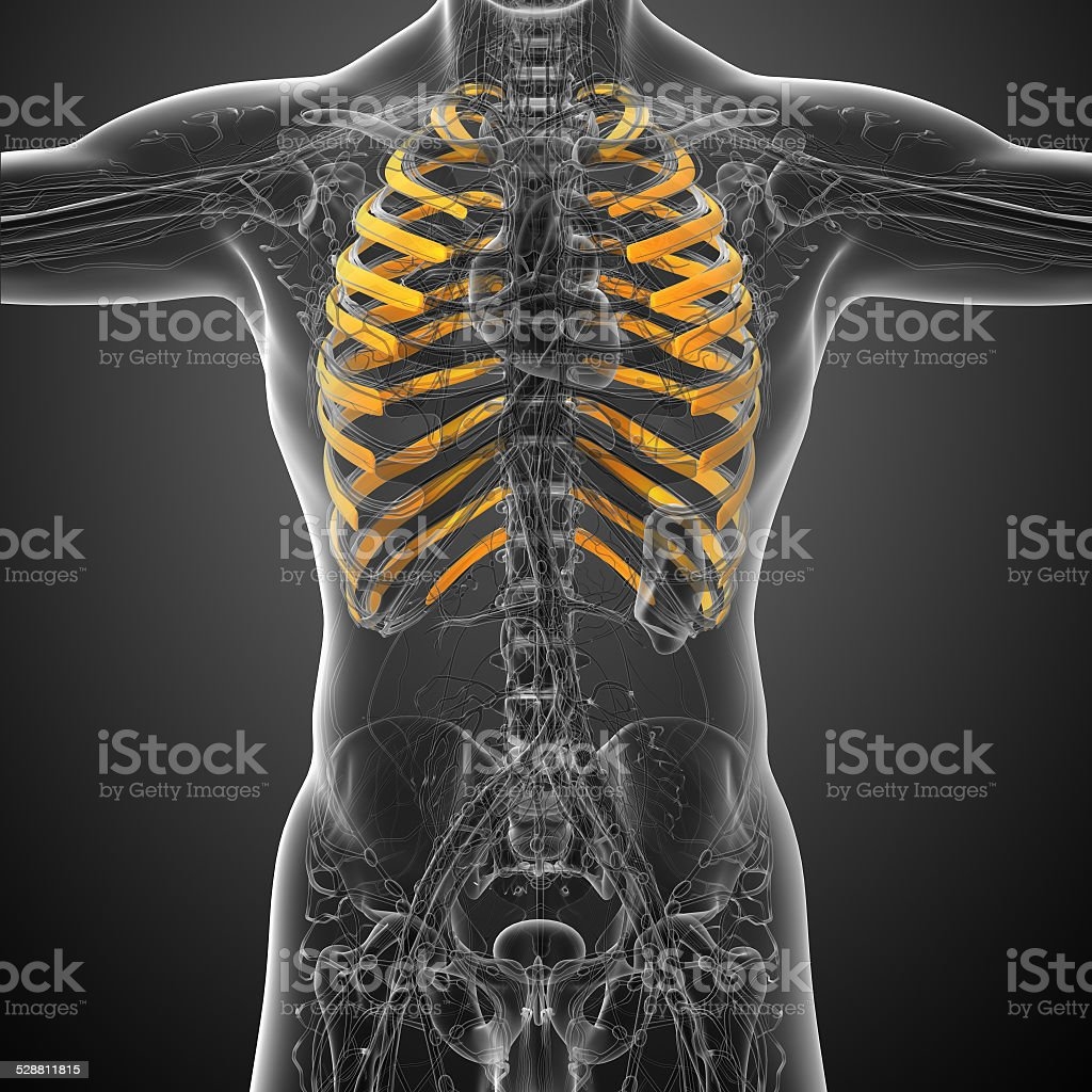 3d render medical illustration of the ribcage stock photo
