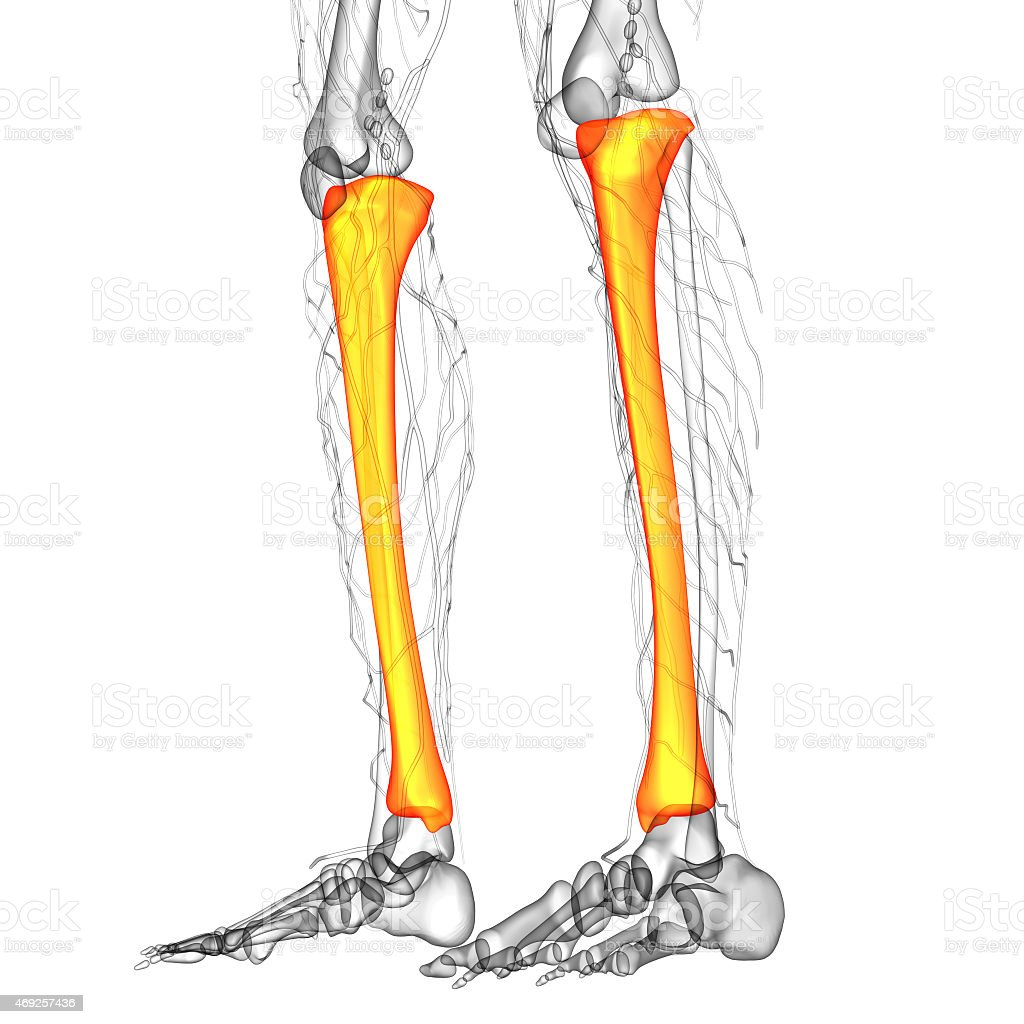 3d render medical illustration of the tibia stock photo