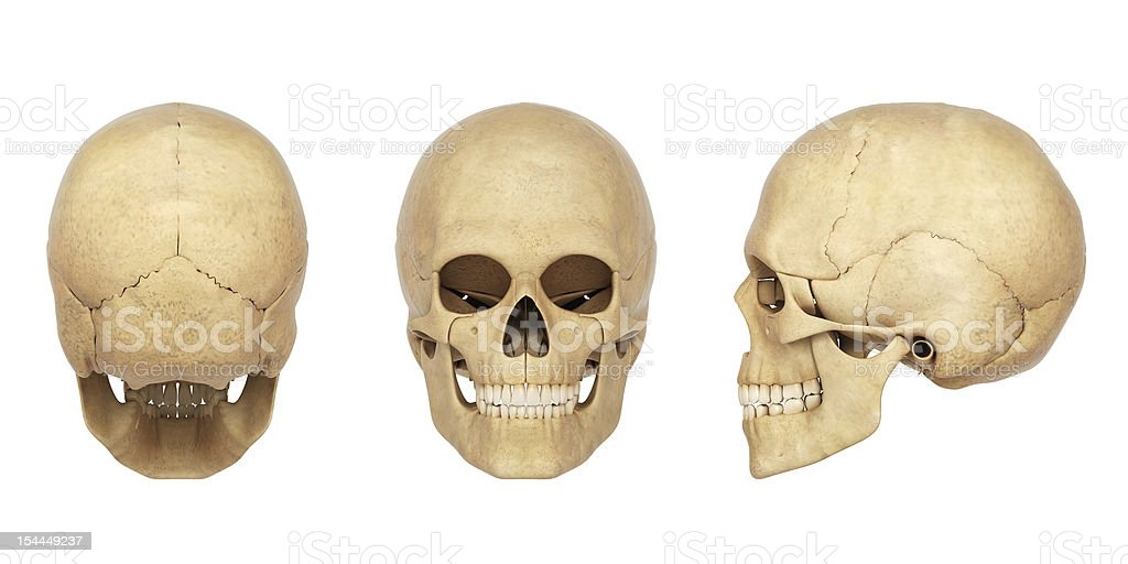 3d rendered anatomy illustration of a human Skull royalty-free stock photo