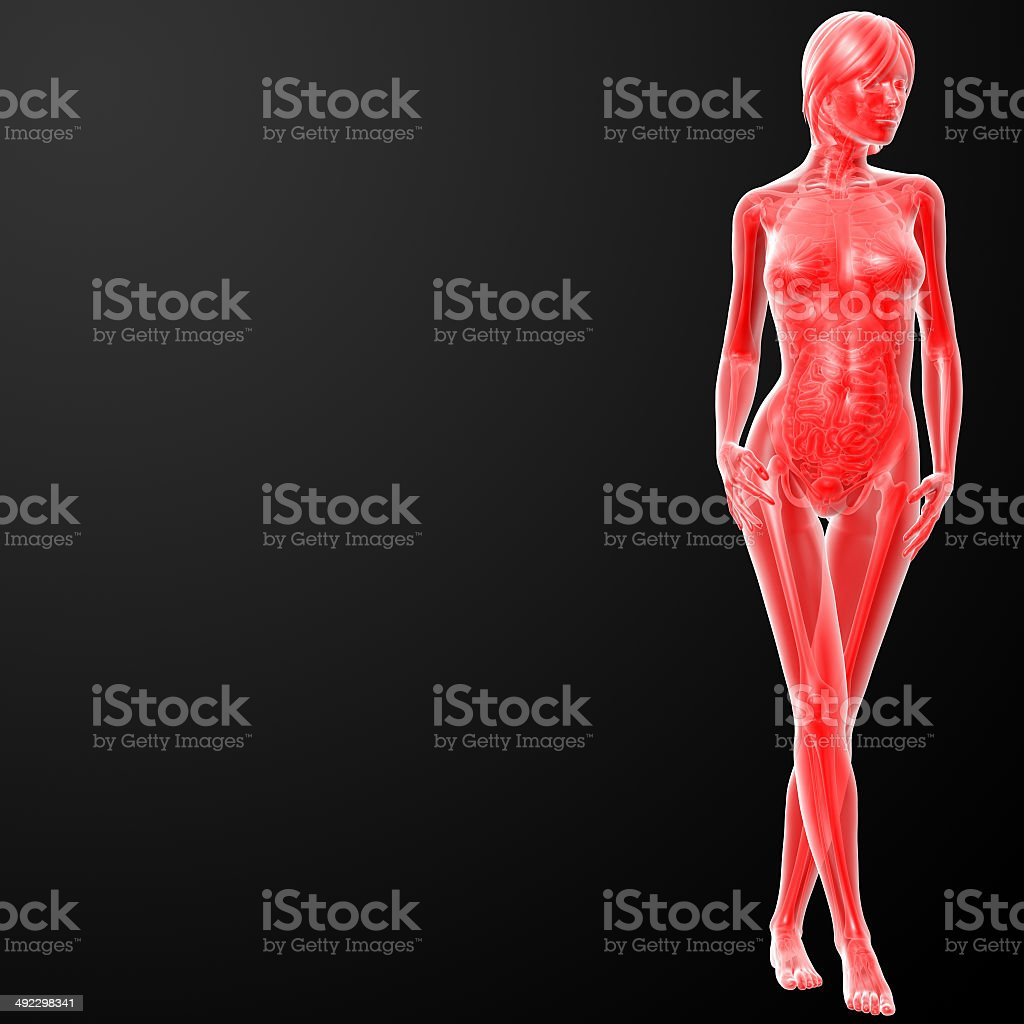 3d rendered illustration of the female anatomy stock photo