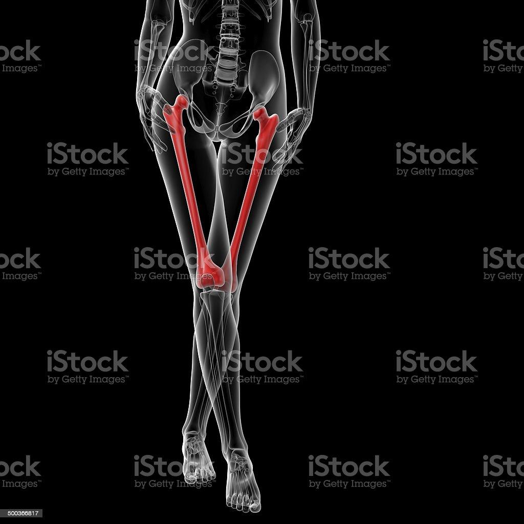 3d rendered illustration of the female femur bone royalty-free stock photo