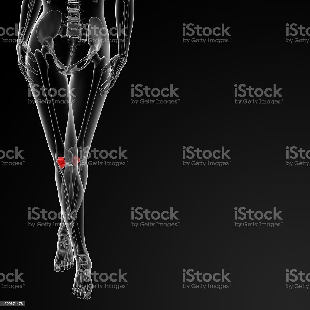 3d rendered illustration of the female patella bone stock photo