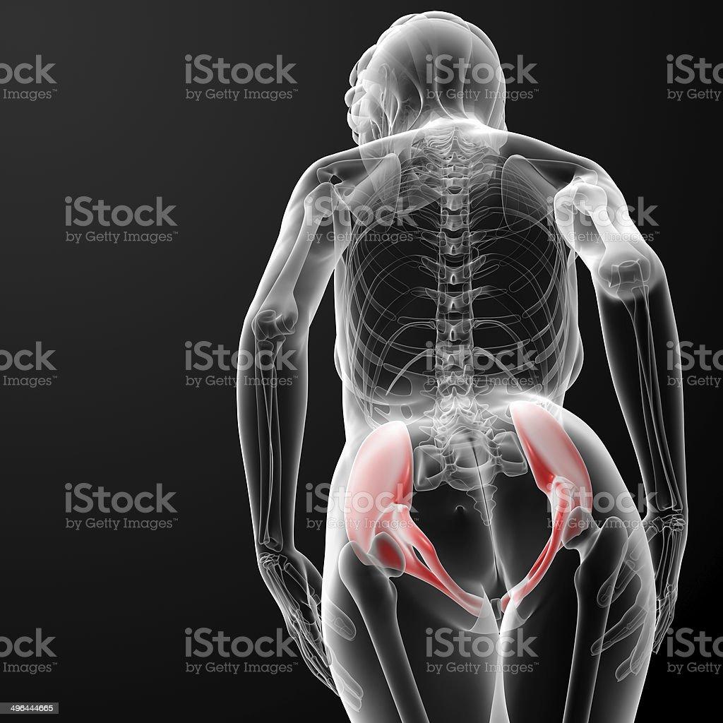 3d rendered illustration of the female pelvis bone royalty-free stock photo