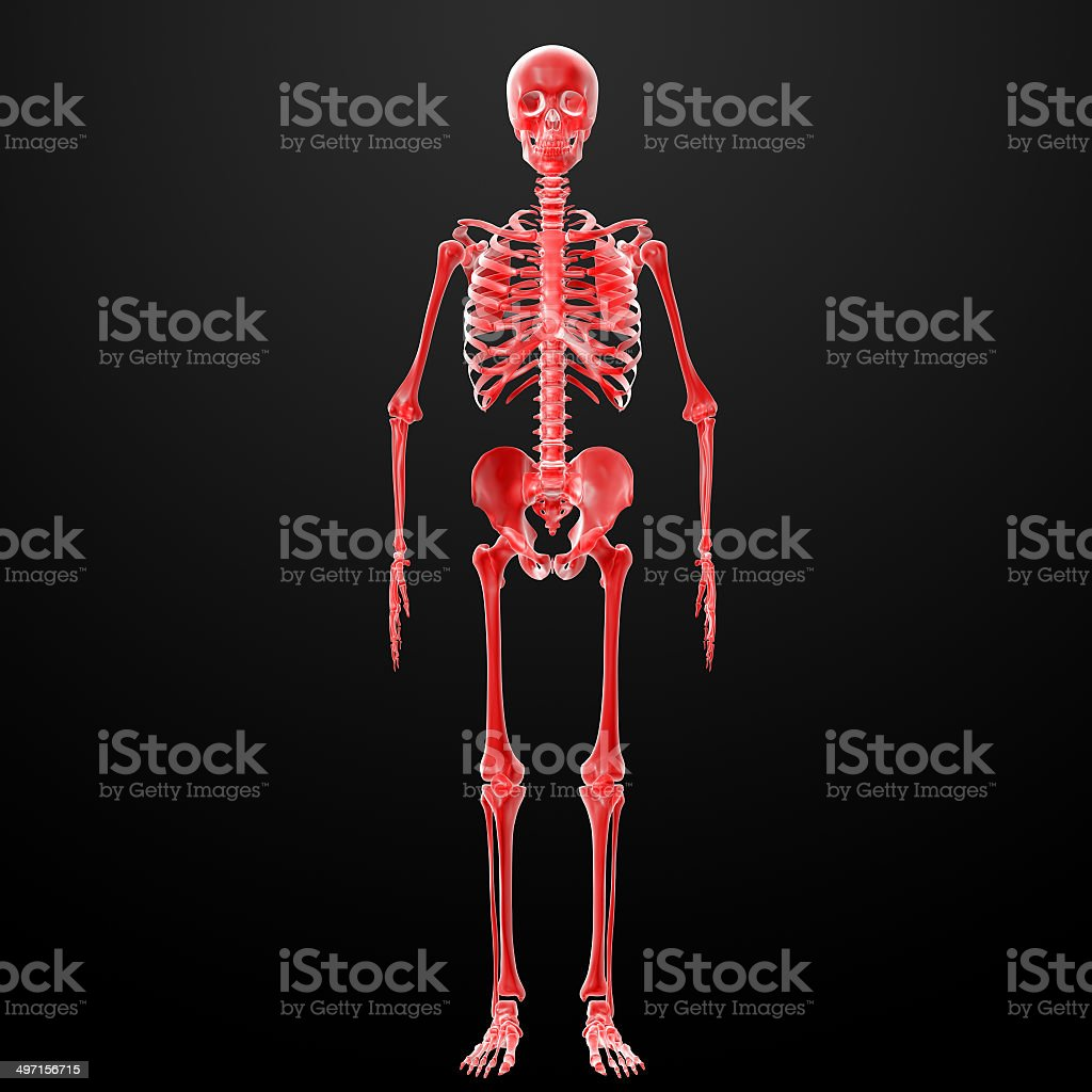 3d Rendered Illustration Of The Skeleton Stock Photo 497156715 Istock