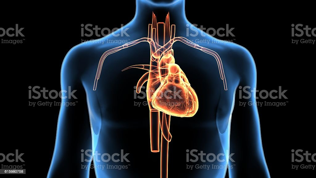 3d rendered of human heart anatomy stock photo