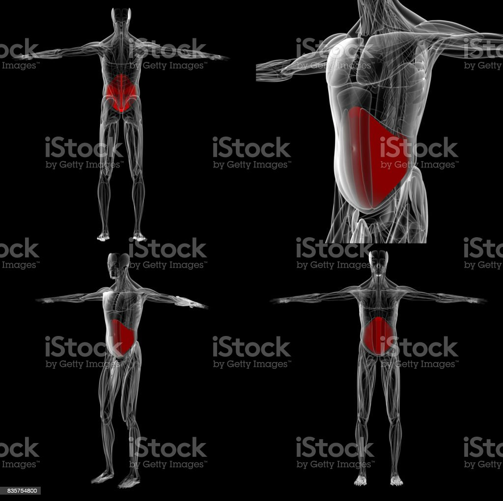 3d rendering Abdominal Muscle Anatomy for education in laboratory stock photo