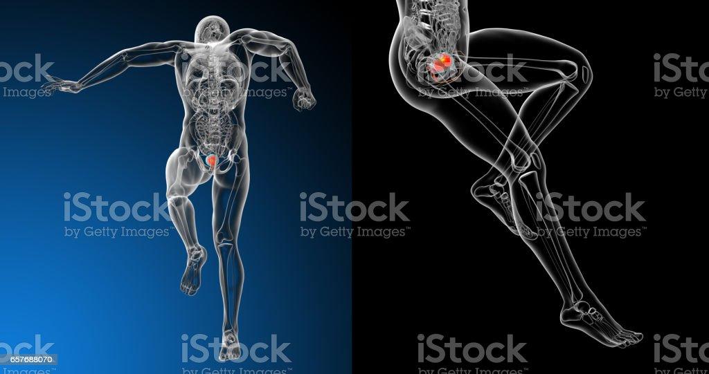 3d rendering medical illustration of the human bladder stock photo