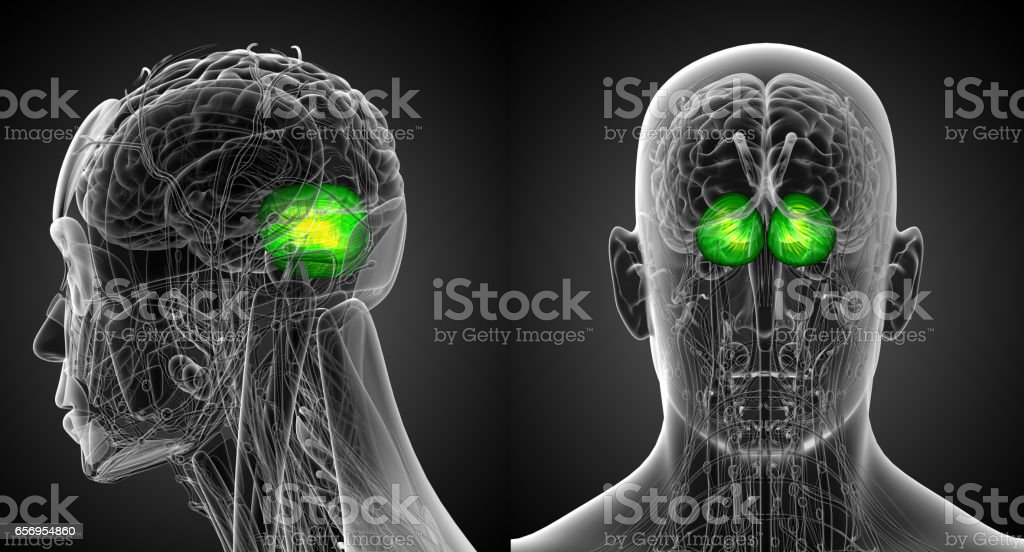 3d rendering medical illustration of the human brain cerebrum stock photo
