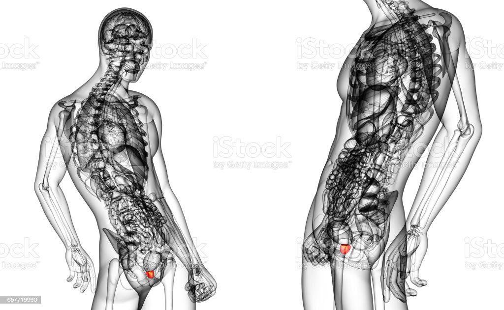 3d rendering medical illustration of the prostate gland stock photo
