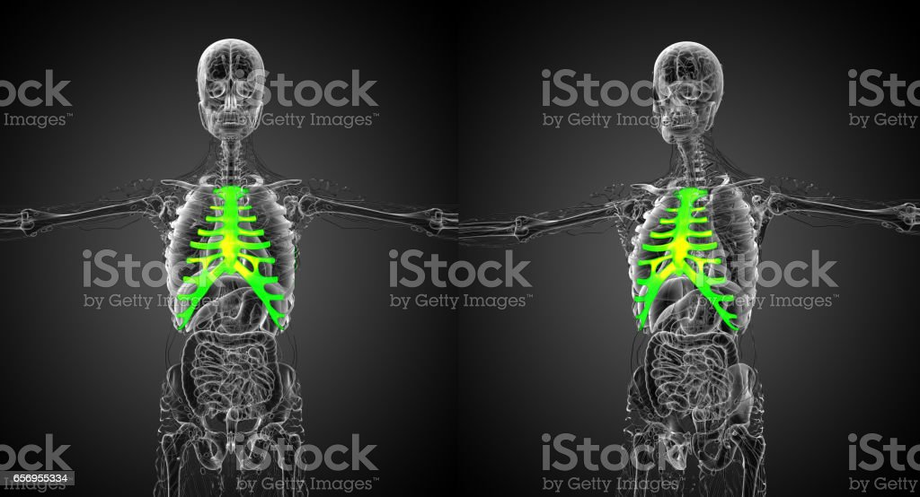 3d rendering medical illustration of the sternum and cartilage stock photo