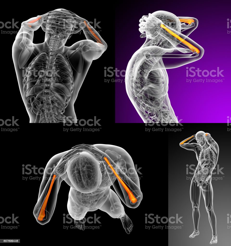 3d rendering medical illustration of the ulna bone stock photo