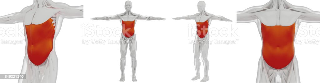 3d rendering medically accurate illustration of the external oblique stock photo